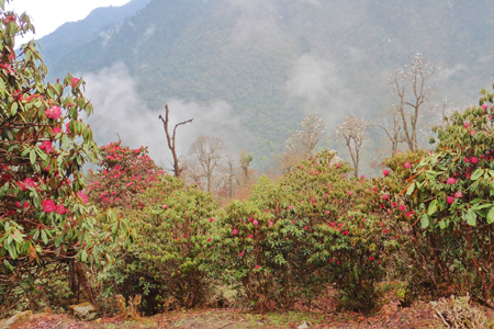 Sikkim - Rhododendron Tour